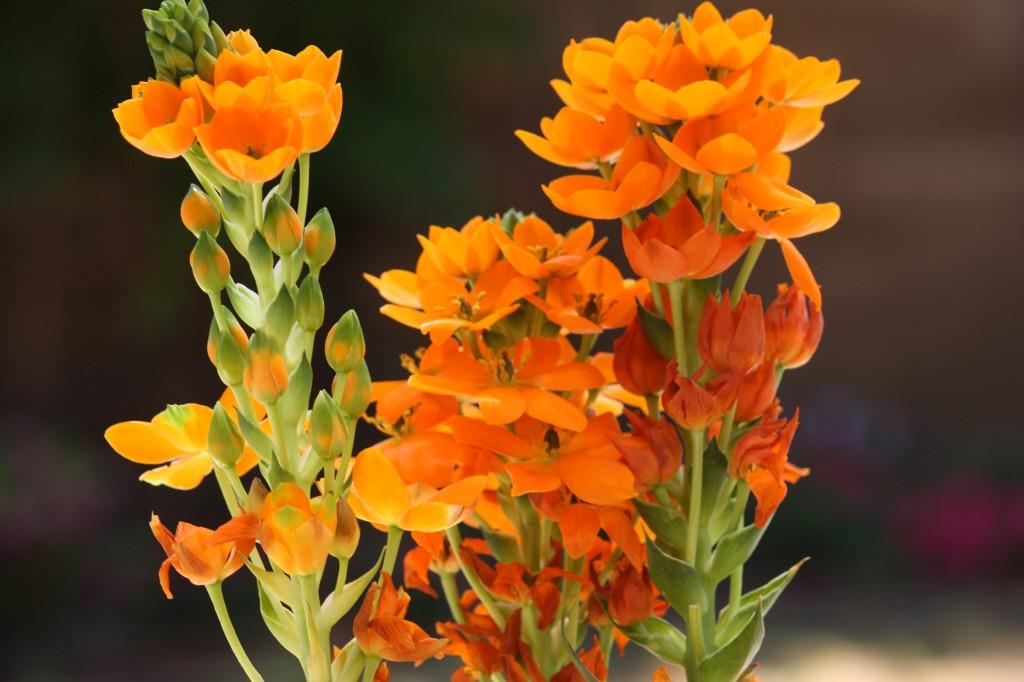 Orange Star flowers
