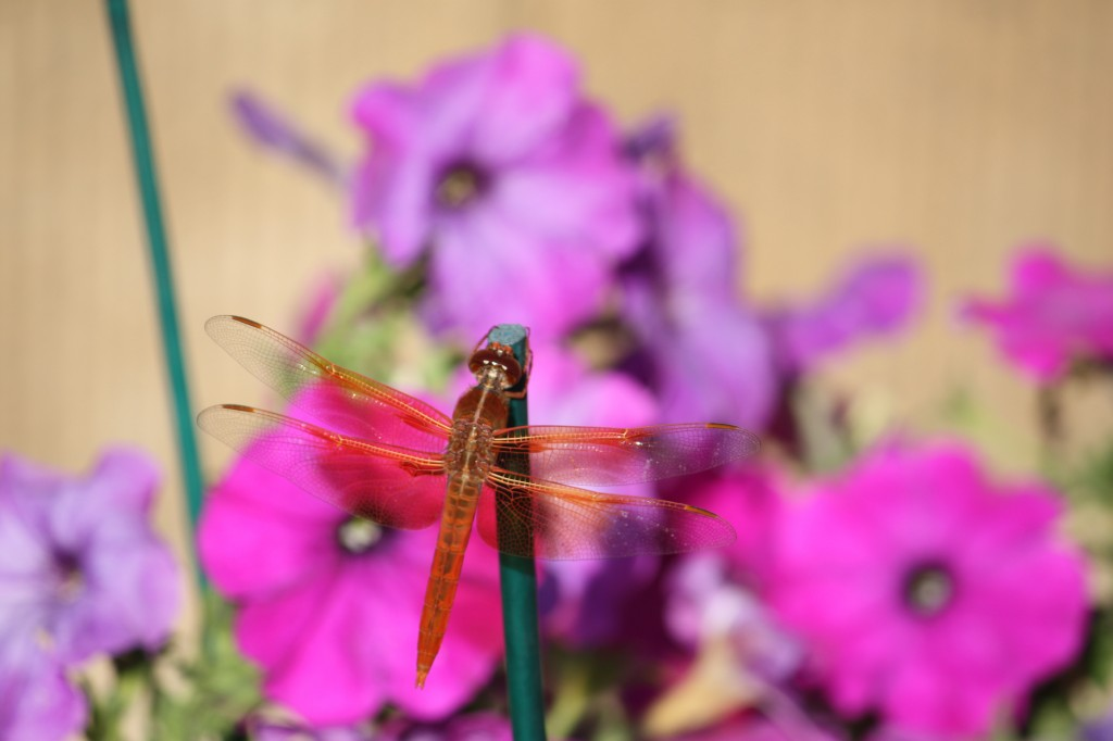 Transparent dragonfly on purple petunias